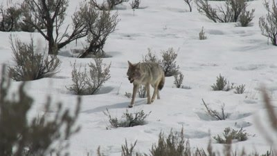 Coyote (Canis latrans) walking with a bone in his mouth, between sage bushes.