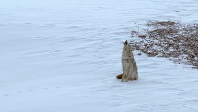 Coyote (Canis latrans) howling, communicating with his partner in background.