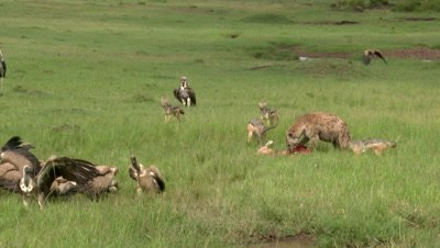 Hyena (Crocuta crocuta) with Carcass, chasing away Vultures and Black-backed Jackals (Canis mesomelas)