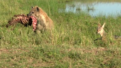 Hyena Clan (Crocuta crocuta) fighting over carcass lying in a small pond