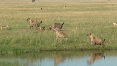 Spotted hyena's (Crocuta crocuta) fighting over carcass lying in water, one running of with it.