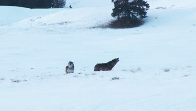 Gray wolf (Canis lupus) in winter forest male following female in heat, howling together