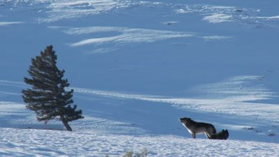 Gray wolf (Canis lupus) in winter male watching over female in heat, howling next to her.