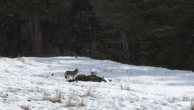 Coyote (Canis latrans) eating from carcass, between sage bushes in background.