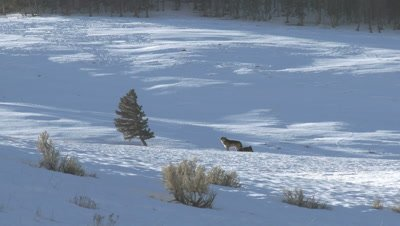 Gray wolf (Canis lupus) male howling, keeping watch over female in heat,  in early morning light