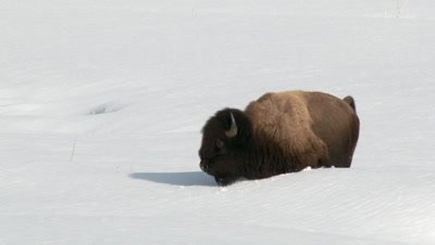 American Bison (Bison bison) struggling to walk in very high snow