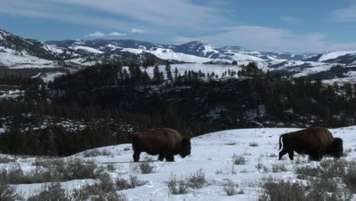 American Bison (Bison bison) passing by in in snowcovered grassfield