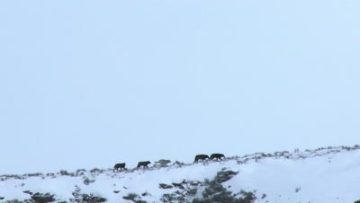 Gray wolf ( Canis lupus) pack walking on rim in snowy landscape
