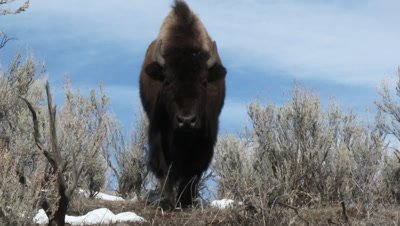 American Bison (Bison bison) grazing among sage bushes, close-up