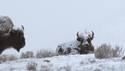 American Bison (Bison bison) portrait with snowcovered face