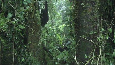 Mountain gorilla  (Gorilla beringei beringei) from Hirwa group eating bark