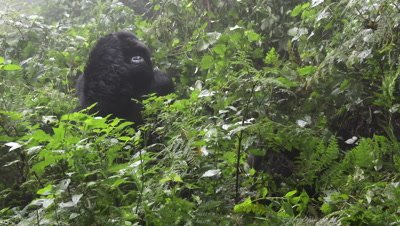 Mountain Gorilla (Gorilla beringei beringei) Silverback in shrubs with hand at his face.