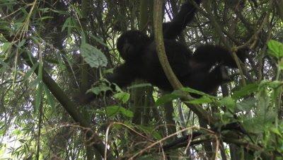 Mountain gorilla baby, (Gorilla beringei beringei from Hirwa group, playing around,swinging in trees
