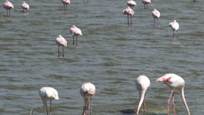 Greater flamingo's ( Phoenicopterus roseus) foraging and resting in a lake