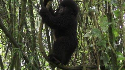 Mountain gorilla baby, (Gorilla beringei beringeifrom Hirwa group, playing around,swinging in trees