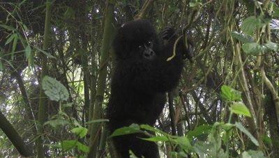 Mountain gorilla baby, (Gorilla beringei beringei), playing around, swinging in trees