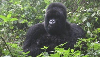 Mountain gorilla (Gorilla beringei beringei)Silverback, sitting in shrubs looking at his Family
