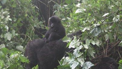 Mountain gorilla (Gorilla beringei beringei)Silverback, looking at Family, baby on back of mother