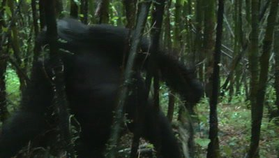 Mountain gorilla,(Gorilla beringei beringei) chest beating and displaying towards camera, through Bamboo forest, passing close to camera
