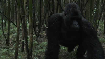 Mountain gorilla (Gorilla beringei beringei)Silverback, Guhonda, in Bamboo forest, walking towards camera, to pass by, next to camera,