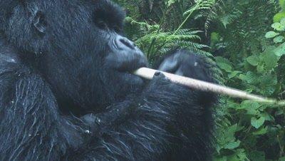 Mountain gorilla  (Gorilla beringei beringei) Silverback enjoying eating Bamboo
