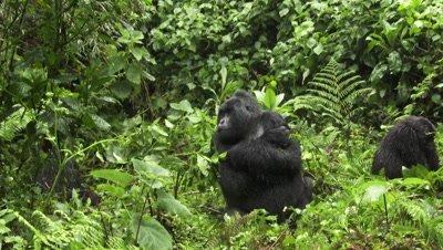 Mountain gorilla  (Gorilla beringei beringei) Silverback sitting annoyed in the rain, with female next to him