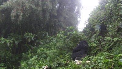 Mountain gorilla  (Gorilla beringei beringei) Silverback Agasha sitting relaxed