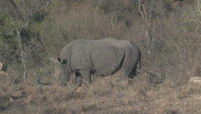 Two white Rhinoceros (Ceratotherium simum) grazing in dry woodland