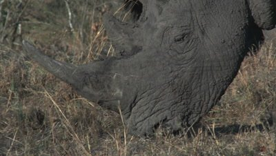 White Rhinoceros (Ceratotherium simum) grazing in dry woodland. close-up with other in background