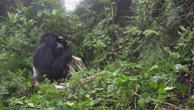 Mountain gorilla  (Gorilla beringei beringei) Silverback  enjoying eating Bamboo, holding hand to his head, covering his eyes against rain.