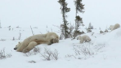 Polar Bear (Ursus maritimus) mother with her tiny three months old cubs, sliding on her back to clean herself.