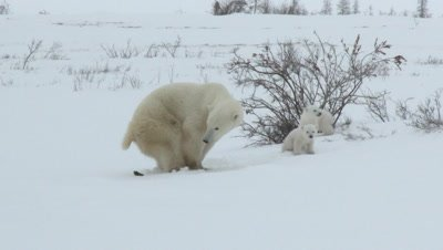 Polar Bear (Ursus maritimus) mother with her tiny three months old cubs. Female defecating and cubs go smell.