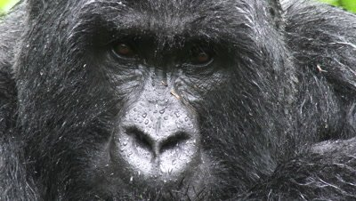 Mountain gorilla  (Gorilla beringei beringei) Silverback portrait looking in camera, face all wet from rain.