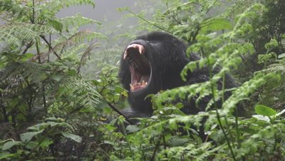 Mountain gorilla  (Gorilla beringei beringei)  yawning, while sitting between ferns