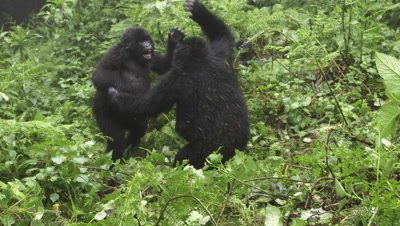 Mountain gorilla  (Gorilla beringei beringei) juveniles playing together