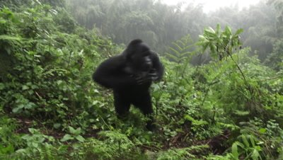 Mountain gorilla  (Gorilla beringei beringei)  chest beating, running past camera