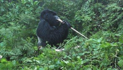 Mountain gorilla  (Gorilla beringei beringei)  Silverback Agasha eating Bamboo.