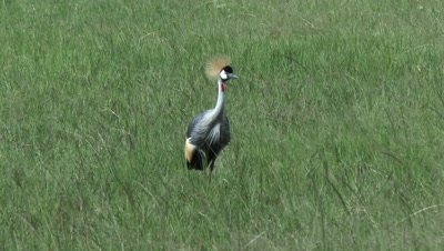 Grey Crowned Crane (Balearica regulorum) on Savannah