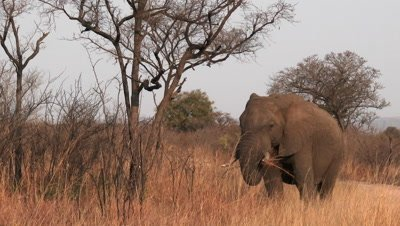 African Elephant (Loxodonta africana)  eating dry grasses