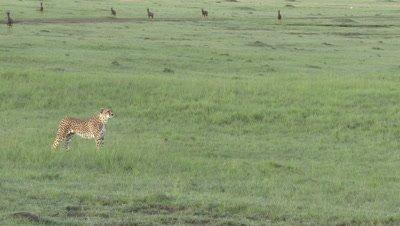 Cheetah (Acinonyx jubatus) standing up and streching, looking in distance for prey, Topis (Damaliscus lunatus jimela) walking nervously in background