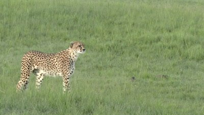 Cheetah (Acinonyx jubatus) starts stalking on prey