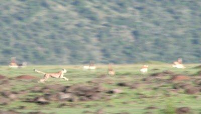 Cheetah (Acinonyx jubatus) running at Impala  (Aepyceros melampus)
