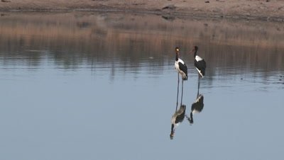 Saddle-Billed Stork ( Ephippiorhynchus senegalensis) couple standing in shallow water with reflection