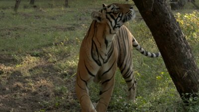 Bengal Tiger (Panthera tigirs tigris) sniffing and scent marking against a tree
