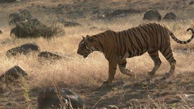 Bengal Tiger (Panthera tigirs tigris) sauntering in dry forest