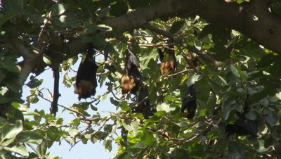 Greater Indian Fruit Bats ( pteropus giganteus) roosting in a tree, Low angle