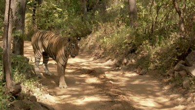 Bengal Tiger (Panthera tigirs tigris) old male scent marking while  patrolling his territory on the road towards camera