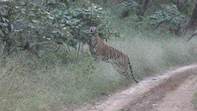 Bengal Tiger (Panthera tigirs tigris) walking and scent marking on the road