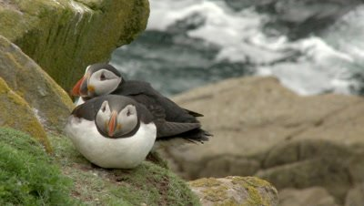 Atlantic Puffin (Fratercula arctica) pair on a cliff at the Atlantic Ocean, at Saltee Island, Ireland.
