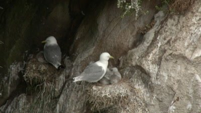 Black-legged Kittiwake (Rissa tridactyla) on rock with chick
